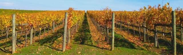 Fall_Vineyard