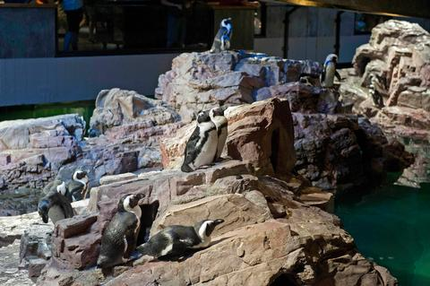 med_new_england_aquarium_african_penguins_must_credit_w_chappell